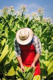 Farmer on the tobacco field Stock Photos