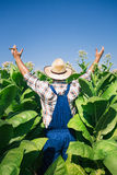 Farmer on the tobacco field Stock Images