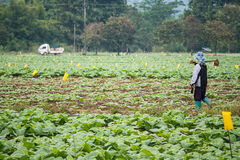 Farmer in tobacco field. Farmer Shoveling soil by hoe in tobacco field royalty free stock photography