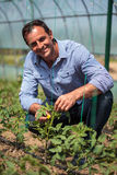 Farmer in the tomato greenhouse Stock Photography