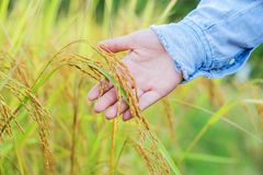 Farmer touching her crop with hand in a wheat field. Farmer touching her crop with hand in a golden wheat field Royalty Free Stock Photo