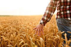 Farmer touching his crop with hand in a golden wheat field. Harvesting, organic farming concept. Farmer goes and touches his crop with hand in a golden wheat royalty free stock photos