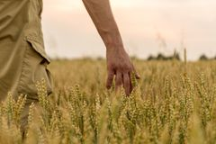 Farmer touching his crop with hand in a golden wheat field. Harvesting, organic farming concept. Selective focus.  stock photography