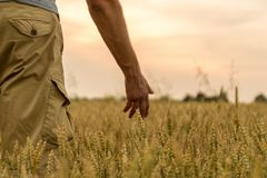 Farmer touching his crop with hand in a golden wheat field. Harvesting, organic farming concept. Selective focus.Farmer touching. Farmer touching his crop with royalty free stock images