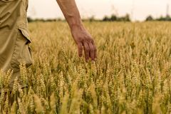 Farmer touching his crop with hand in a golden wheat field. Harvesting, organic farming concept. Selective focus.  royalty free stock images