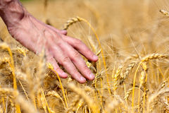 Farmer touching wheat ears Stock Images