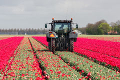 Farmer at tractor is cutting the heads of tulip flowers Royalty Free Stock Images