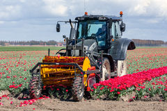 Farmer at tractor is cutting the heads of tulip flowers Stock Image