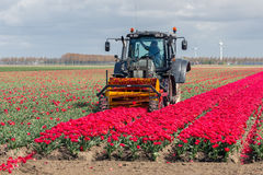 Farmer at tractor is cutting the heads of tulip flowers Stock Photo