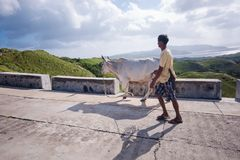 A farmer transfering his cow for grazing.  Royalty Free Stock Photography
