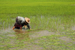 Farmer transplant rice seedlings Stock Photography
