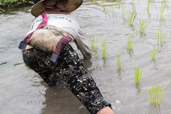 Farmer transplant rice seedlings stock image