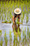 Farmer Transplanting Rice Seedlings In Paddy Field Royalty Free Stock Image