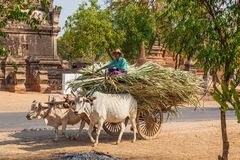 Farmer transporting crops Stock Photo