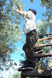 Farmer on tree. A farmer picking olives on a ladder Stock Image