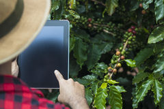 Farmer using digital tablet computer in cultivated coffee field plantation royalty free stock photos