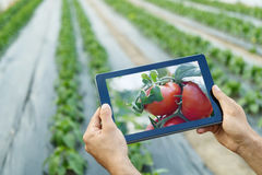 Farmer using tablet computer in greenhouse. Ripe natural tomatoes growing. stock photos