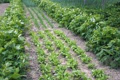 Farmer vegetable garden in spring Royalty Free Stock Photos
