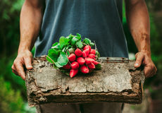 Farmer with vegetables. Organic vegetables. Farmers hands with freshly harvested vegetables. Horse radish Royalty Free Stock Photography