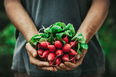 Farmer with vegetables. Organic vegetables. Farmers hands with freshly harvested vegetables. Horse radish Royalty Free Stock Photos