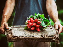 Farmer with vegetables. Organic vegetables. Farmers hands with freshly harvested vegetables. Horse radish Stock Images