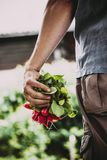 Farmer with vegetables. Organic vegetables. Farmers hands with freshly harvested vegetables. Horse radish Stock Photos