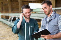 Farmer and veterinary watching for the next date Stock Images