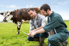 Farmer and veterinary working together in a masture with cows Stock Image