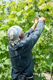 Farmer vintner observing a plant grapes in the grape fields. The Farmer vintner observing a plant grapes in the grape fields stock images