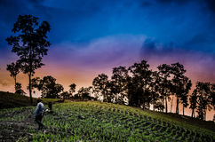 Farmer walking in corn fields with beautiful sunset Stock Photography