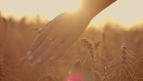 Female farmer walking down the wheat field in sunset touching wheat ears with hands - agriculture concept. Farmer walking down the wheat field in sunset stock footage