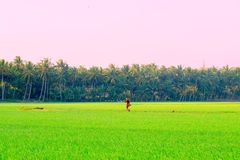 A Farmer walking in a Rice field from India stock photo