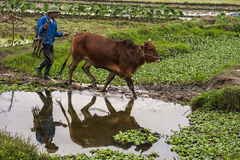 Farmer walks his ox in rice paddies and gets a nice reflection. Royalty Free Stock Photo
