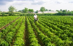 A farmer walks through a plantation field and spreads fertilizer. Agroindustry, cultivation of sweet peppers. Crop care. Hard work