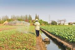 Farmer watering kale field Stock Photos