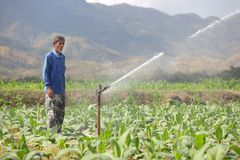 Farmer watering tobacco field Stock Photo