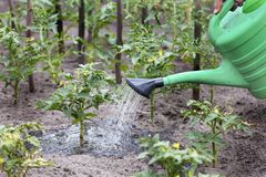 Farmer watering tomato bushes royalty free stock images