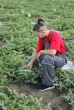 Farmer and watermelon fruit in a field. Young farmer examining watermelon fruit and plant in field, summer time Stock Photography