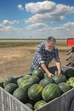 Farmer and watermelon fruit at trailer. Farmer selling watermelons, and taking one to show quality at farmers market Stock Photos