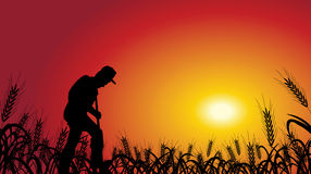Farmer in wheat field. A farmer is working in wheat field, with the sunset background Royalty Free Stock Images