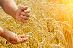 The farmer on a wheat field checks the maturity of wheat grain. Rich harvest Concept. stock images