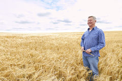 Farmer In Wheat Field Inspecting Crop Royalty Free Stock Photos