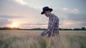 Farmer in the wheat field. Young male farmer walk on the beautiful summer wheat field during sunset stock video