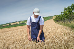 Farmer in wheat fields Royalty Free Stock Photography