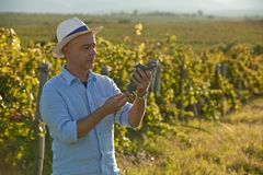 Winemaker looking at grape bunch doing quality control royalty free stock image