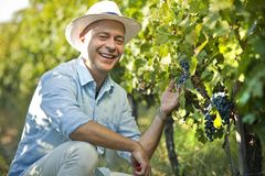 Winemaker smiling in vineyard holding grape bunch. Farmer, winemaker smiling while doing quality control in the vineyard holding grape bunch royalty free stock image
