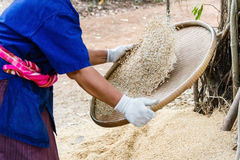 Farmer winnowing rice. Stock Photo
