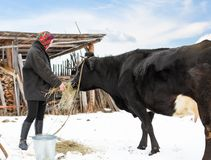 Farmer in winter clothes fed cows Royalty Free Stock Image