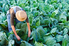 Farmer woman in cabbage field Royalty Free Stock Photography