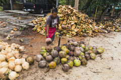 Farmer woman cleans coconuts Royalty Free Stock Photos